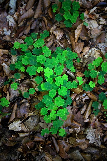 close up photography of dried leaves scatter around green 3 leaf clover photo