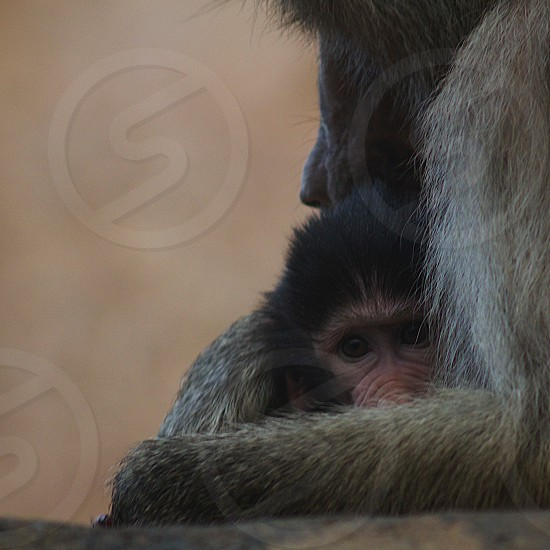 Mother and son baboons photo