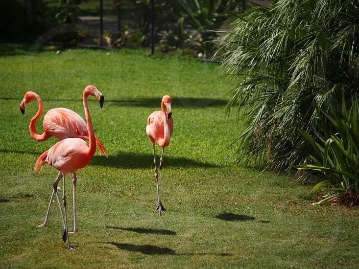 Flamingo birds on green grass  photo