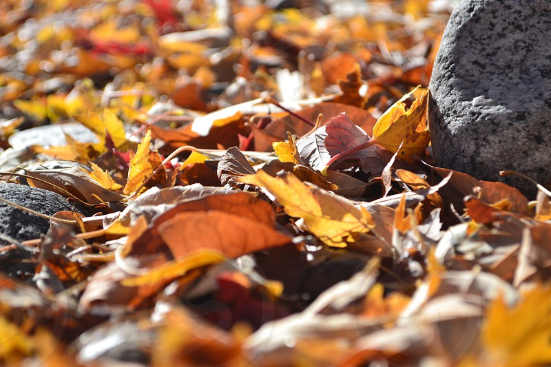 Fall leaves melting snow photo