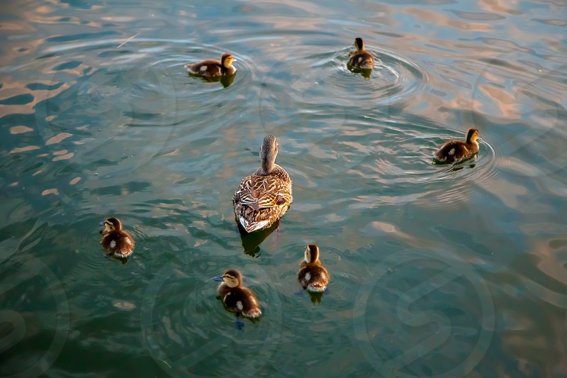 A mama duck swims in the midst of her babies. photo