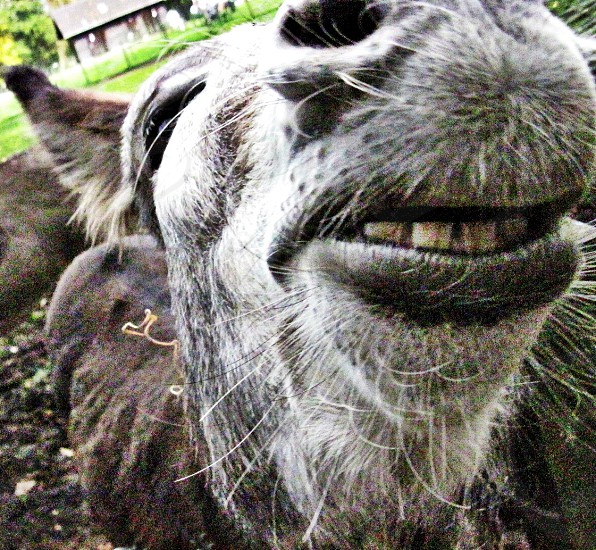 donkey showing his teeth and smiling photo