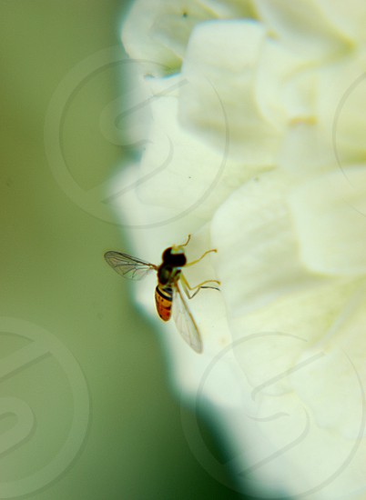 Small bug on a white flower photo