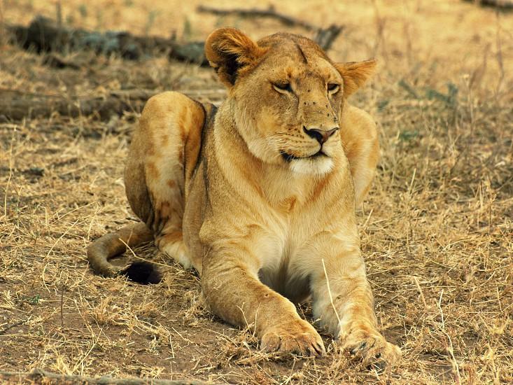 Lion in the Serengeti photo