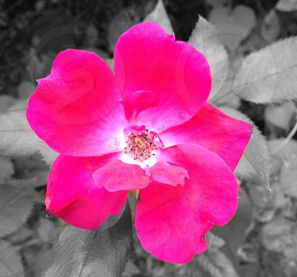 pink flower.  photo