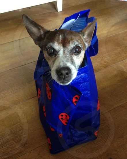 My cute Jack Russell stow away please take me with you! photo