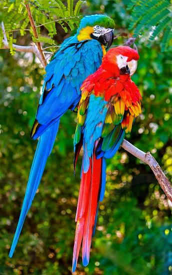 scarlet macaw parrot and ara ararauna photo
