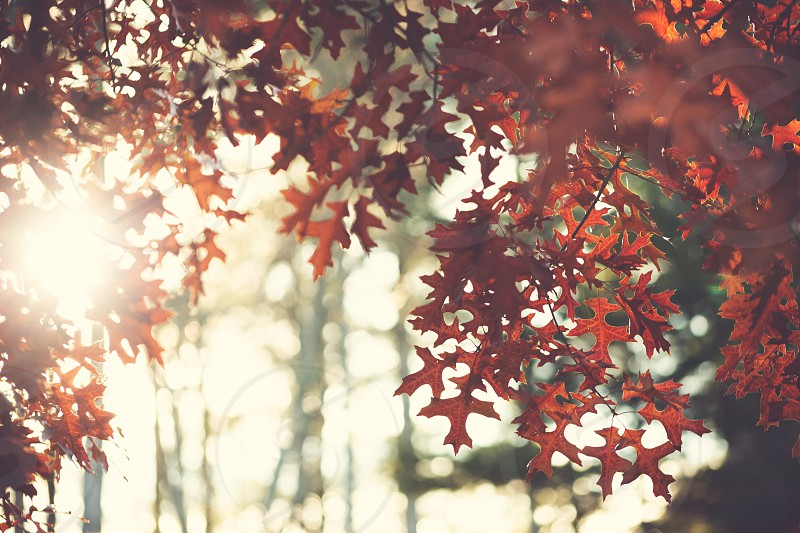A rustic background of fall colored leaves in a tree with the sun glowing through the canopy. photo