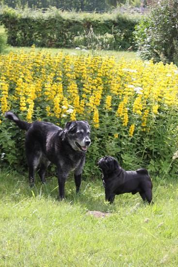 black pug on green grassy field photo