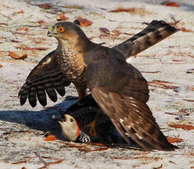 Hunter and prey  wildlife birds hunt prey nature photo