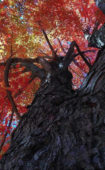 Looking up into Autumn... photo