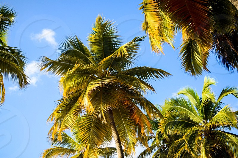 Palm trees; Virgin Islands photo