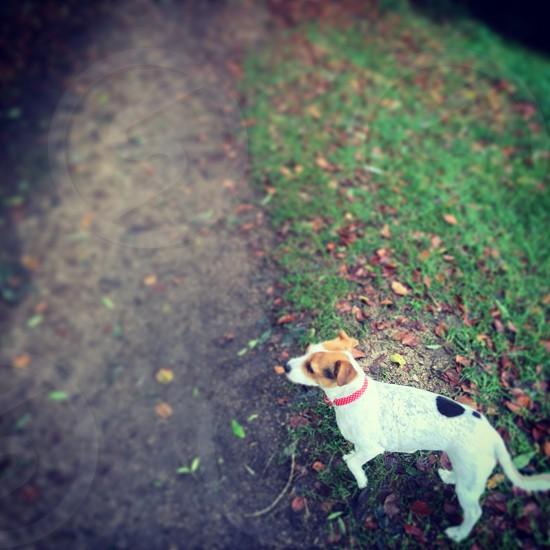 My Dog Peppa #JackRussell  photo