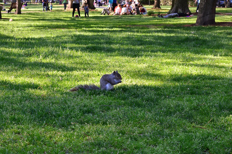 gray squirrel on green grass photo