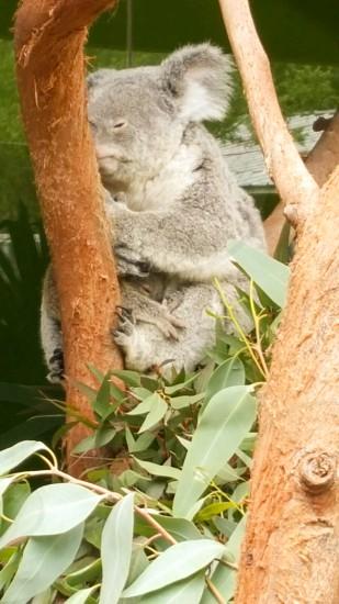 Koala baby zoo photo