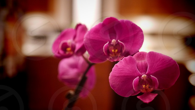 Orchid in my kitchen photo