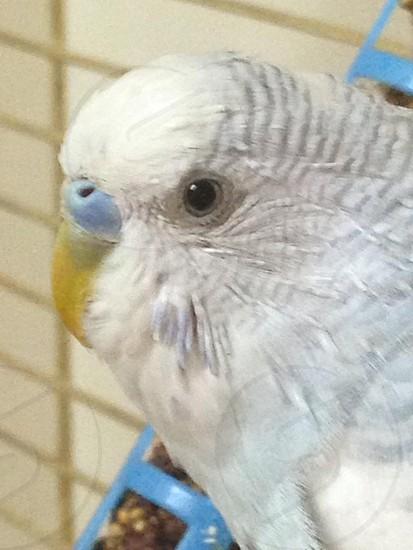 Parakeet  photo