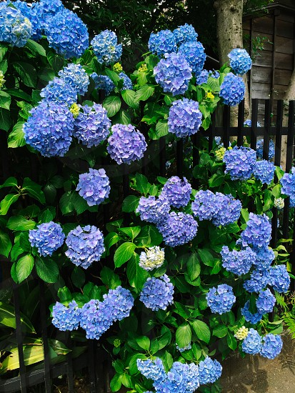 JapanTokyoHydrangeas purple rainy season beautifulflower photo