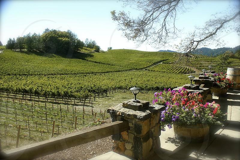 Vineyards St. Helena California photo