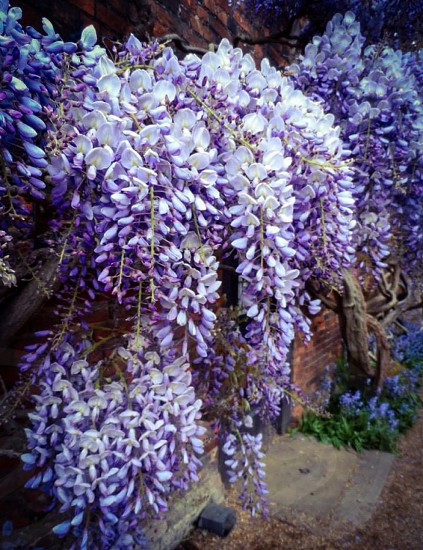 Purple Wysteria photo