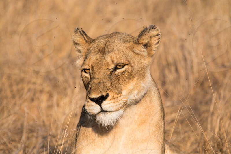 shallow focus photography of lioness photo