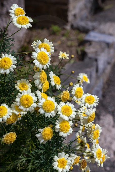 White and yellow chrysanthemums blooming in Riomaggiore Liguria Italy photo