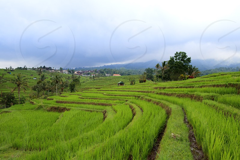 Rice Field in Bali Indonesia photo