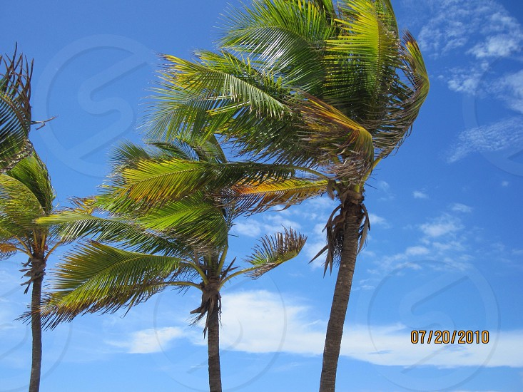 Palm trees in the Caribbean photo