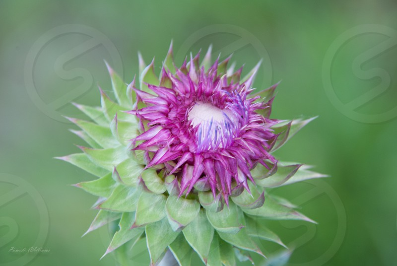 flower bloom thistle close up nature purple green botanical garden weed  photo