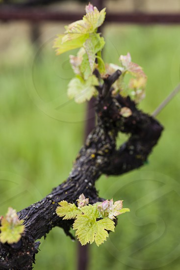 old vine new growth green brown new grapes wine winery spring leaves grape vine vines  photo