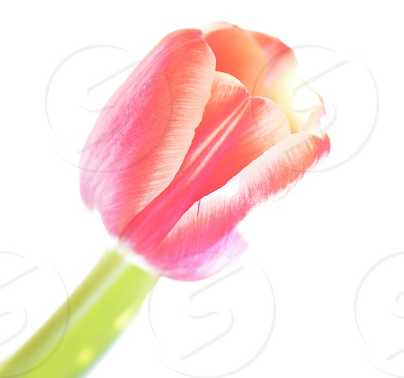 pink tulips in shallow focus lens photo
