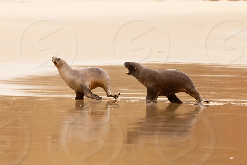 Male Hooker's Sealion Phocarctos hookeri or whakahao chasing female in a playful act of courtship behavior on sandy beach photo