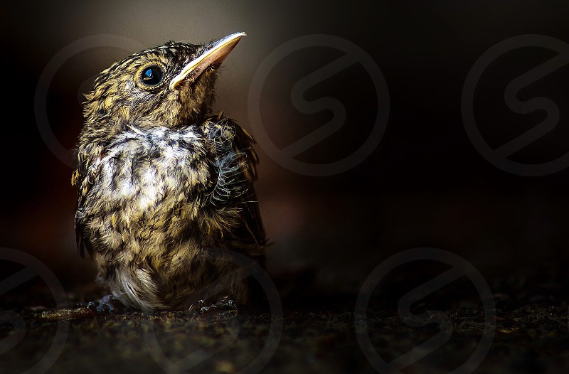 Young blackbird. Just out of the nest. photo