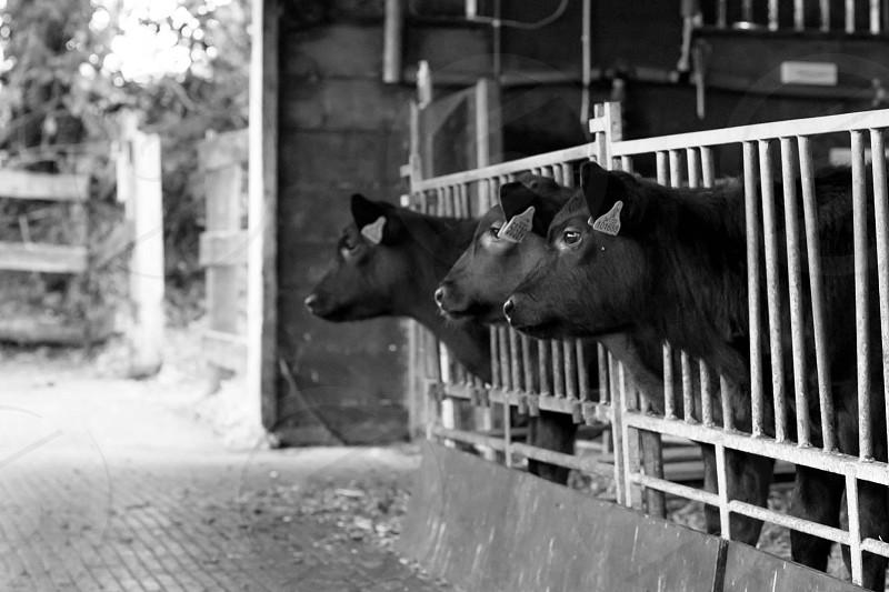 Calves farm cow animal countryside rural barn anticipation waiting milk dairy photo