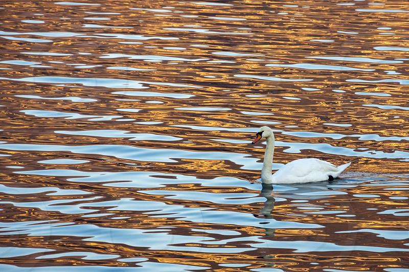 swan sunset gold photo