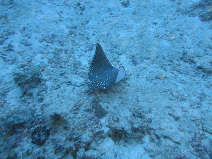 stingray fish marine life diving snorkelling ocean big blue sea water reef photo