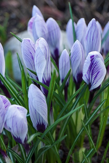 Crocus flowers purple green photo