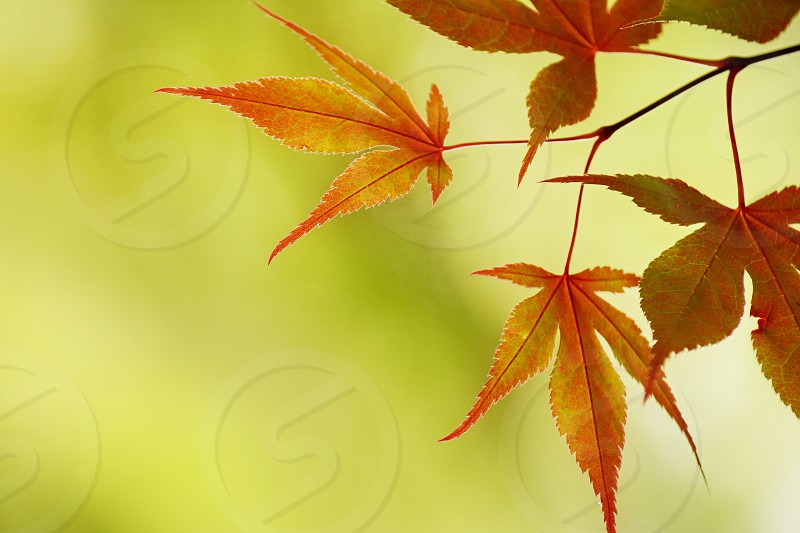 The backside of Japanese red maple leaves backlit by bright sunshine and a distance green foliage in the background. photo