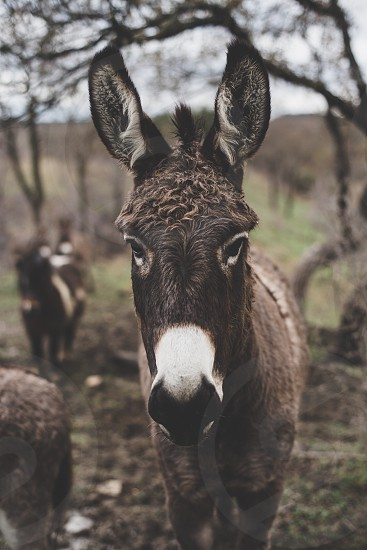brown mule face close up in a field surrounded by other mules and trees photo
