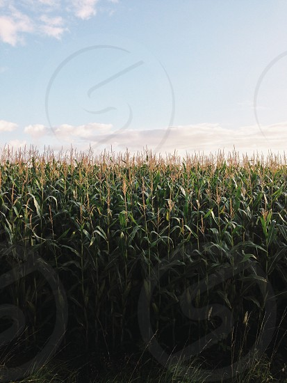 green corn field under blue and white sky photo