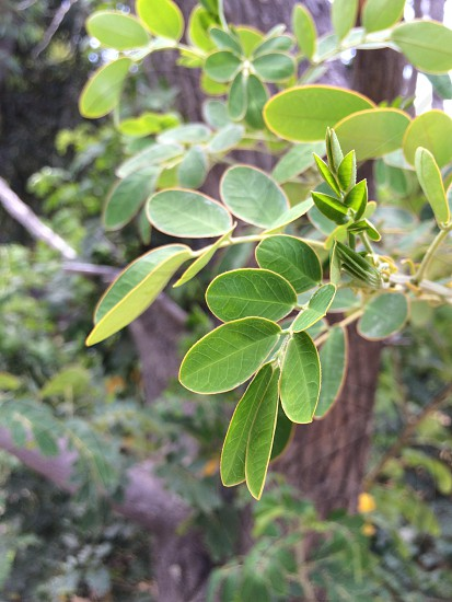 Fresh leaves bright green Australian bush photo
