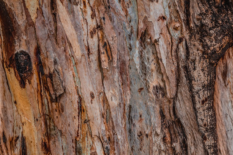 Close up of abstract colorful striped texture and pattern of eucalyptus tree. photo