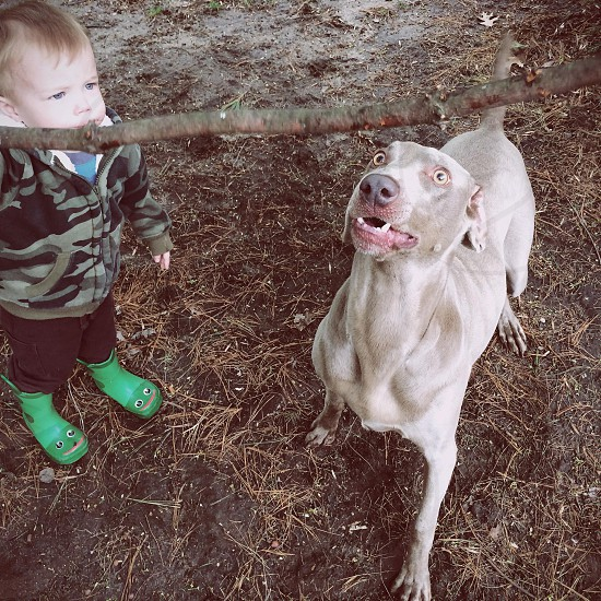 Boy shaking branch so the Weimaraner lunges. photo