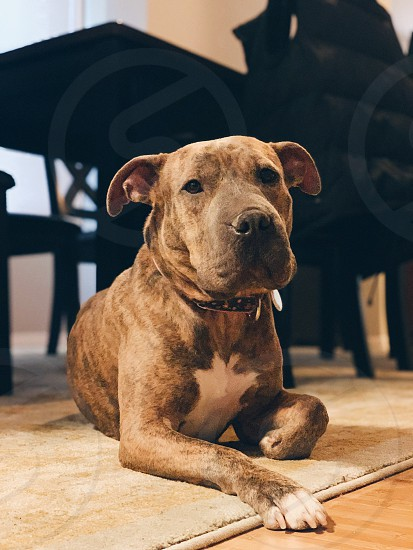 canine dog pit bull Shar Pei mixed breed rescue portrait photo