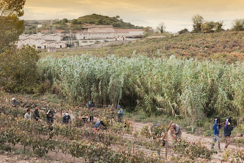 grape harvest in winery marques de murrieta.logroño. spain photo