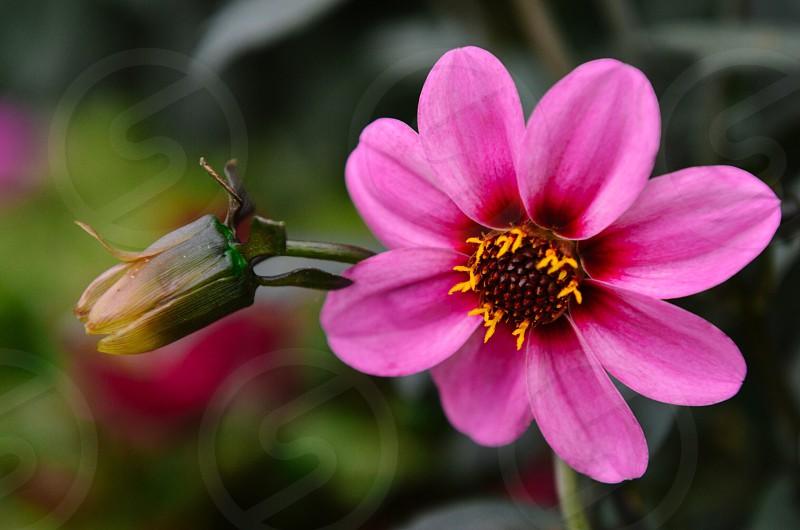 Pink flower spring photo