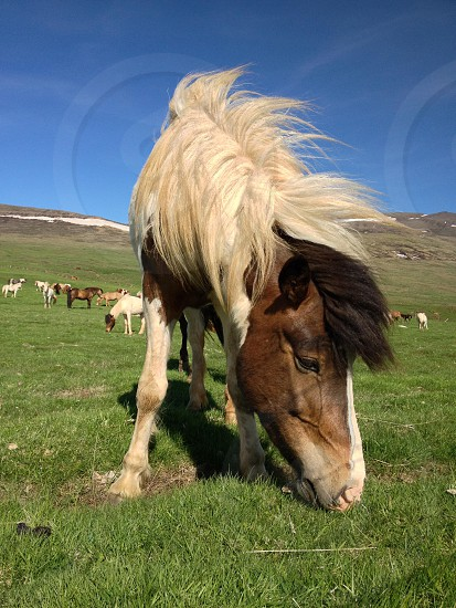 white and brown long horse eating photo