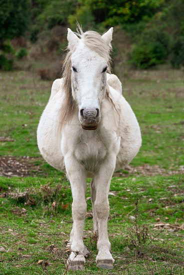 Portrait of a pregnant white horse in the countryside  photo