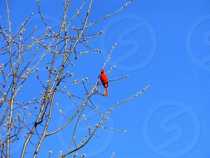 Cardinal sitting on a budding tree against the blue sky photo