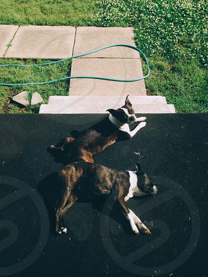 brindle and white boston terrier photo